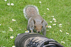i wouldn't sniff that if i were you (Pezski) Tags: flowers wild copyright cute grass animal gardens daisies botanical mammal foot shoe grey rodent furry squirrel sheffield smell pest phew cpaulperry