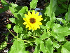 Florida Sunflower