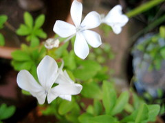 little white flowers (parttimefarm) Tags: flowers white brasil chacara echapora