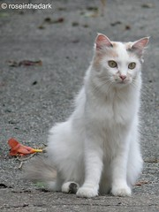 A cat and a doubt (roseinthedark) Tags: street portrait pet white animal cat lumix eyes furry feline chat doubt gatto lovable fz50 bestofcats platinumphoto diamondclassphotographer flickrdiamond canonornikon betterthangood theperfectphotographer boc0708 admiringtherainbow racheletotaro nexttomyhome