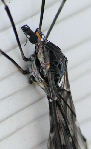 Cranefly3
