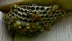 Nest (mike.palic) Tags: hornet