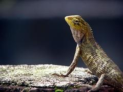 Alert Lizard! (Whats There!) Tags: fierce bokeh sharp lizard alert magnificient scaly smoothbokeh minidinosaur