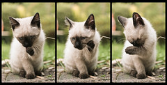 Suit.. Clean up ! (PtitBen) Tags: cat kitten chat triptych princess cleaning princesse chaton lea kittenmagazine kittyschoice