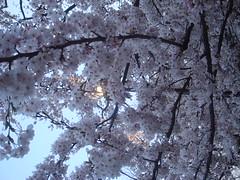 DSC02791 (smithtleigh) Tags: japan aomori hirosaki hanami
