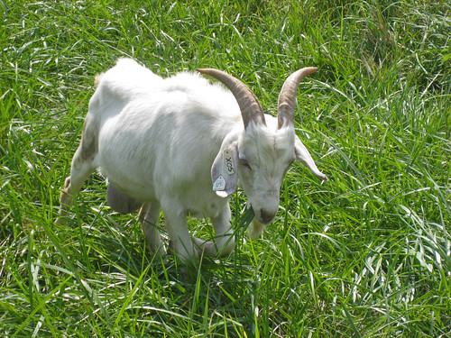 Kiko buck grazing fescue