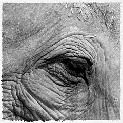 I c U (Drew Gregory Photography) Tags: life wild elephant calgary animals photography zoo wildlife drew gregory drg picswithframes zoosofnorthamerica drgphotography drewgregory
