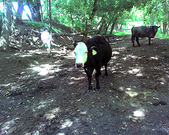 Bill gives the cows a wide berth (candyhargett) Tags: river vmi maury rockbridge lexingtonva chessietrail candylynn valleyofvirginia wwwvalleyofvirginiarealestatecom wwwcandylynncom rockbridgecountyva