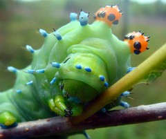 Take me to your leader, please. (LisaNH) Tags: alien caterpillar littlegreenman naturesfinest diamondclassphotographer flickrdiamond cecropiamothcaterpiller