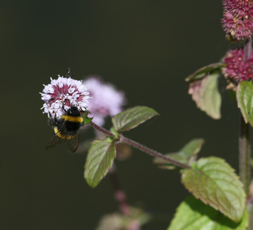 Bumblebee on Water Mint