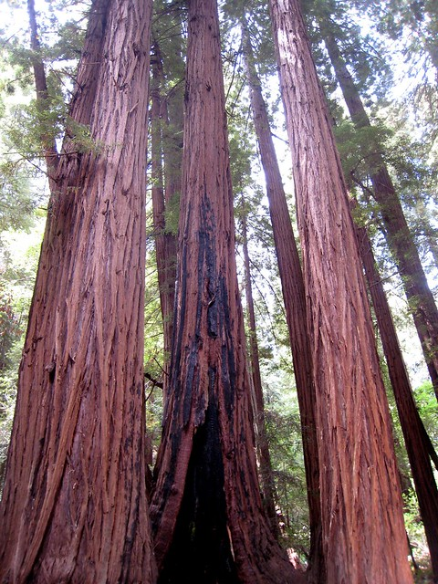Giants of Muir Woods