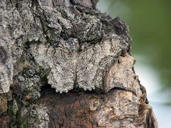 Can you see me? (Mean and Pinchy) Tags: insect moth iusually nocluewhatkind butnotthisone buthewasnt ofhiding easytospot thinkofmoths intermsof potentialmantisfood hedidtoogoodajob soilethimthink ihadntseenhimatall