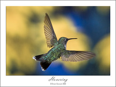 Hummingbird high speed flash photography (RichardDumoulin) Tags: speed canon photography high hummingbird flash 1d richard 580ex mk3 70200l 430ex ste2 dumoulin 28is hummingbirdhighspeedflashphotography