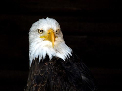 Weisskopfseeadler / Bald Eagle