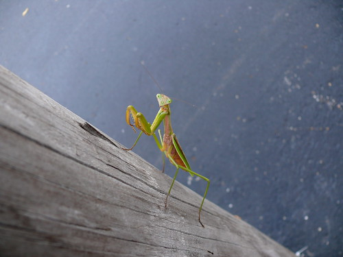 Mantis on a light pole