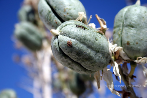 Soaptree Yucca fruit and ladybug and ants at White Sands National Monument