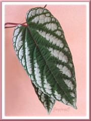 Beautiful variegated foliage of Cissus discolor (Trailing Begonia, Rex Begonia Vine), Jan 2008