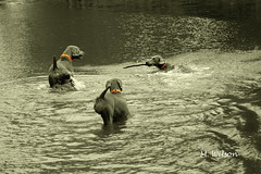 Good Weimy Fun! (kia's r kid) Tags: bw dogs swimming river nikon play sebastian september kia d100 2008 tone weimaraners allrightsreserved bestinshow selectivecolor 70200mm lylah goldentone thelittledoglaughed citrit betterthangood theperfectphotographer mwilsonphotography mwilsonphotoblogd mwilsonphotoblogw