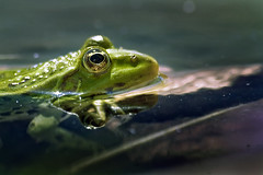 Frog - ba (pavel conka) Tags: green water colors animals digital canon eos eyes wasser raw republic czech frog voda froglet pavel 30d zvata zve ba oi conka