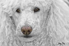 B & W & Selective Colors Soul Look (Johny Day) Tags: holly hollywood 70300mm nocrop focalbw standardpoodle lucis spcr oneofmybest canicheroyal selectivecolors johnyday impressedbeauty infinestyle fontpage theperfectphotographer johnyday© explore2008 beautifulldog 9yearsoldfemale bestlookingdog