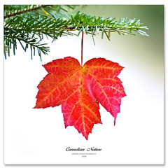 O Canada (Imapix) Tags: christmas autumn canada fall automne photo leaf maple photographie fallcolors decoration foliage evergreen mapleleaf canadianflag onwhite autumnal feuille ocanada arabesque ornment foliate alemdagqualityonlyclub 100commentgroup vosplusbellesphotos imapixphotography gatanbourquephotography