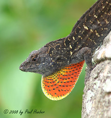 Brown Anole (Anolis sagrei) showing off (Paul Hueber) Tags: red brown nature canon fun funny florida reptile wildlife humor humour lizard his handheld anole ha shedding herp displaying seminolecounty altamontesprings showingoff centralflorida dewlap brownanole anolissagrei musicarver lizarddandruff