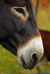 © So ugly I'm cute (Paul Wash) Tags: ontario eye texture ass soft donkey kingston wash snout paulwash elginburg
