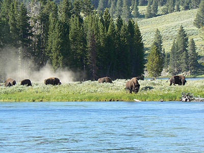 bisons au bord de la rivière Yellowstone.jpg