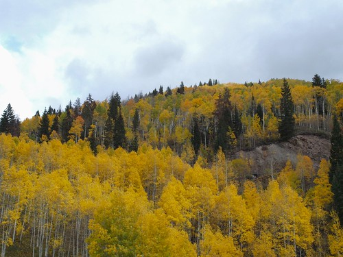 Yellow Aspen in the Rockies
