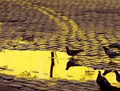 El rio de oro (carlos_ar2000) Tags: reflection argentina pool yellow stone puddle buenosaires pigeon dove paloma cobbled reflected amarillo reflejo paving curve curva charco barracas adoquinado carlosredondo colourartaward credondo carlosalbertoredondo carlosaredondo