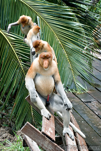 Probscis Monkeys