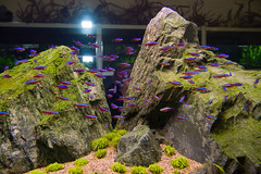 TGM ADA Demo - Iwagumi tank with cardinals (Stu Worrall Photography) Tags: green ada tank stu machine demonstration meet planted aquascaping tgm stuworrall iwagumi ukaps ukapsorg worralltgmthegreenmachineadademonstrationplantedta
