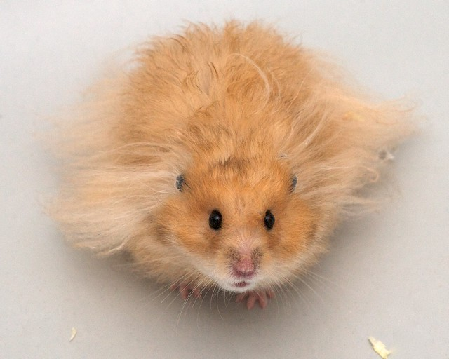 Our golden hamster a nice model