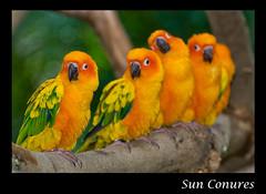 Sun Conures - Jurong Bird Park, Singapore (Souvik_Prometure) Tags: singapore jurongbirdpark jurong soe birdpark sunconures flickrsbest mywinners platinumphoto aplusphoto souvikbhattacharya