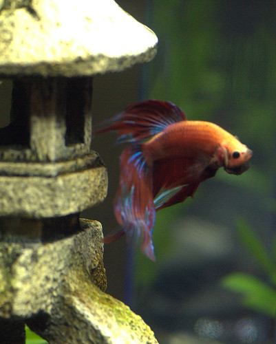 Can Betta Fish Regrow their Fins? - Fish Care