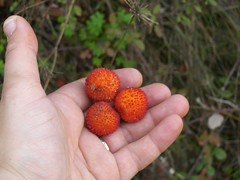 arbute berries strawberry tree hania chania