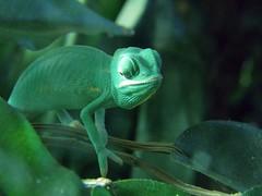 [フリー画像] [動物写真] [は虫類] [カメレオン] [緑色/グリーン]       [フリー素材]