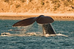 Whale Tail (jackkostelec) Tags: argentina whale soe rightwhale blueribbonwinner aplusphoto naturewatcher naturescreations lpfloating