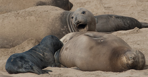 Female Northern Elephant Seal Vocalizes at Pup
