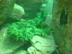 Wobbegong Shark 1 by DiveKarma, on Flickr
