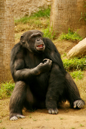 an observation of the chimpanzees at the los angeles zoo Discover the 1069 best things to do with kids in los angeles, ca  at the los angeles zoo & botanical gardens,  koalas, chimpanzees,.