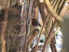 P1100433 (Roger Knaepen) Tags: vogels thuis roodborstje