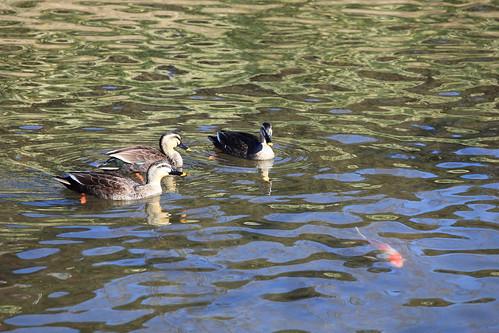 Ducks / 鴨(かも)
