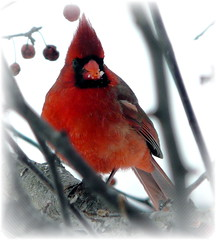 Northern Cardinal Male (chippewabear) Tags: winter urban tree bird birds seasons cardinal seasonal january indiana northern crested birdwatching crabapple northerncardinal birdfeeding passeriformes cardinalidae indianastatebird sensationalcreationsofexcellence thewonderfulworldofbirds