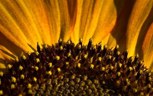 sunflowers wallpaper. sunflower backgrounds for mac
