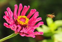 Cleared for a Soft Landing (Jeff Clow) Tags: macro closeup garden bravo texas bee handheld dfw sigma105mm 1exp nikond300 jeffrclow