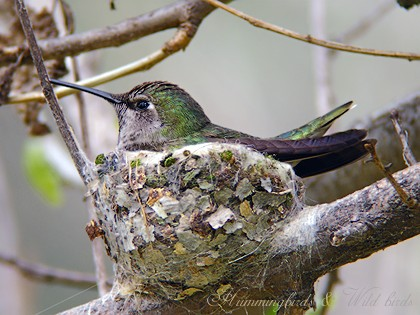 Anna's Hummingbird nest091-5