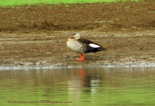 Spot Billed Duck 1