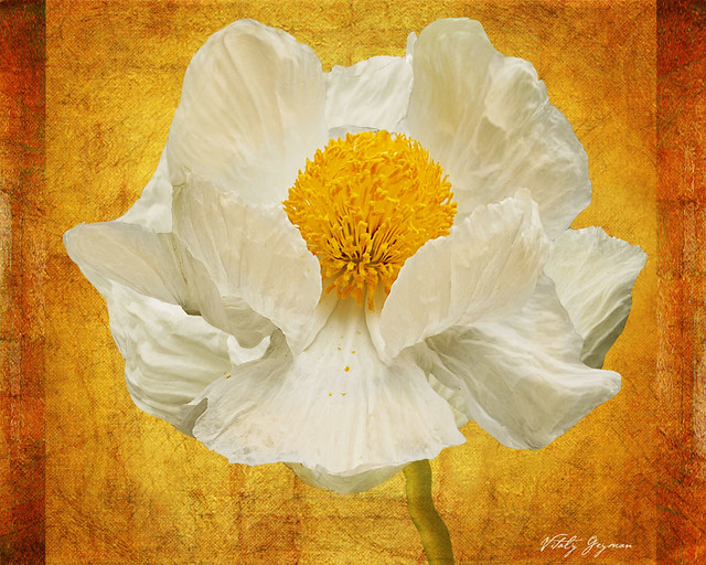 320White Poppy Large-web