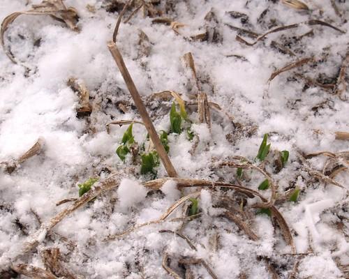 Daylilies Rising